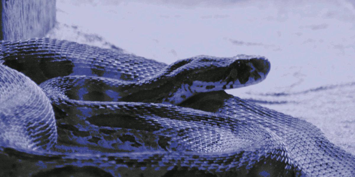 A Blue python
